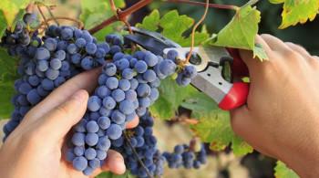 druiven-plukken_0